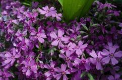 从蓝色新鲜的矢车菊的花卉软的嫩背景 免版税图库摄影