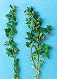 蓝色新鲜的绿色麝香草枝杈 免版税库存照片