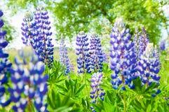 蓝色新鲜的羽扇豆 库存照片
