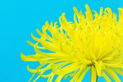 蓝色明亮的菊花花蜘蛛黄色 免版税图库摄影