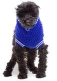 蓝色明亮的长卷毛狗毛线衣 免版税库存图片