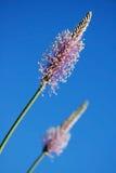 蓝色明亮的ribwort天空 图库摄影