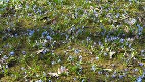 蓝色春天花沼地在森林里在一明亮的好日子 Scilla西伯利亚或蓝色snowdrop在的森林里 影视素材
