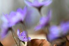 蓝色春天野花liverleaf或地钱Hepatica nobilis 免版税图库摄影