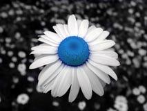 蓝色春黄菊 库存图片