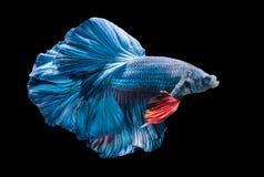 蓝色暹罗战斗的鱼,被隔绝的betta splendens 库存照片