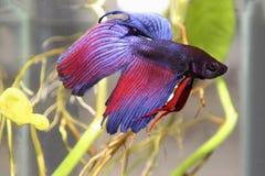 蓝色暹罗战斗的鱼 免版税图库摄影