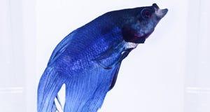 蓝色暹罗战斗鱼 免版税库存图片