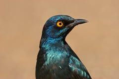 蓝色有耳更加极大starling 免版税库存图片