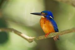 蓝色有耳的翠鸟 库存图片