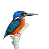 蓝色有耳的翠鸟 免版税库存图片