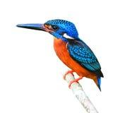 蓝色有耳的翠鸟 免版税库存照片