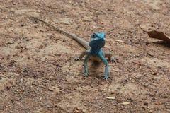蓝色有顶饰蜥蜴 免版税图库摄影