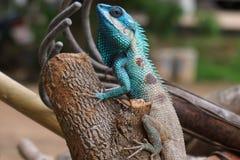 蓝色有顶饰蜥蜴 库存照片