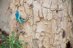 蓝色有顶饰蜥蜴 图库摄影