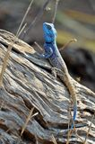 蓝色朝向的树蜥蜴-蜥蜴Atricollis 免版税库存照片