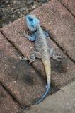 蓝色朝向的蜥蜴(koggelmander) 免版税库存照片