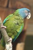 蓝色朝向的金刚鹦鹉 库存图片