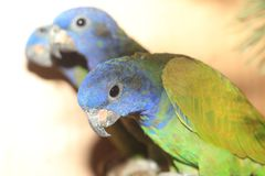 蓝色朝向的鹦鹉 库存图片