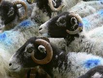 蓝色朝向绵羊 免版税库存图片