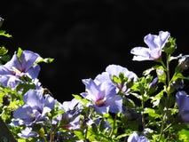 蓝色木槿 免版税库存图片