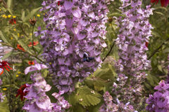 蓝色木蜂 免版税图库摄影