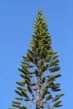 蓝色杉木天空结构树 免版税图库摄影