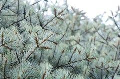 蓝色杉树 库存图片