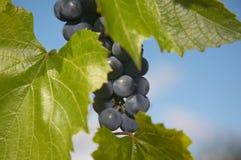 蓝色束葡萄 免版税库存图片