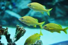 蓝色条纹咕噜声在热带水域中 库存照片