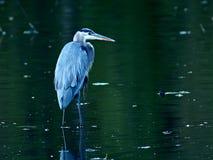 蓝色极大的苍鹭池塘 库存图片
