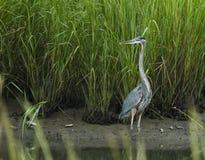 蓝色极大的苍鹭沼泽盐 库存照片
