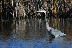 蓝色极大的苍鹭沼泽 库存照片