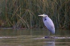 蓝色极大的苍鹭湖 免版税库存图片