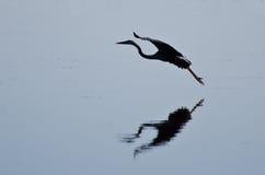 蓝色极大的苍鹭着陆剪影 库存图片