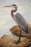 蓝色极大的苍鹭纵向 免版税库存照片
