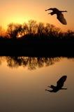 蓝色极大的苍鹭 免版税库存照片