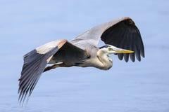 蓝色极大的苍鹭 库存图片