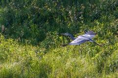 蓝色极大的苍鹭 免版税图库摄影