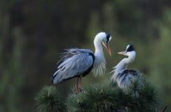 蓝色极大的苍鹭 图库摄影