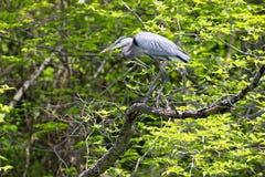 蓝色极大的苍鹭 库存照片