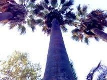 蓝色树干棕榈树 图库摄影