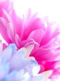 蓝色桃红色紫色Fusia淡紫色大丁草雏菊花 免版税图库摄影