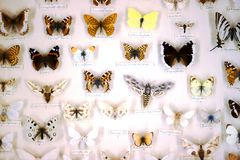 蓝色框蝴蝶蝴蝶收集红色 共同的欧洲蝴蝶 免版税库存图片
