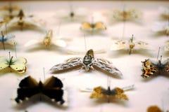 蓝色框蝴蝶蝴蝶收集红色 普里维天蛾在焦点 免版税库存照片
