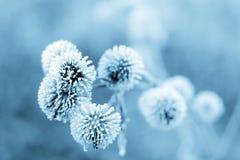 蓝色植物名ii冬天 免版税库存照片