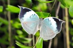 蓝色橡木叶子蝴蝶 免版税库存照片