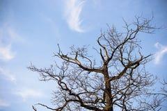 蓝色橡木天空结构树 库存图片