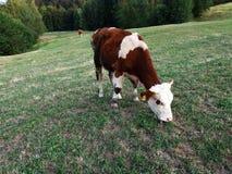 蓝色母牛威胁黑暗的横向牧场地农村天空夏天下 免版税库存图片