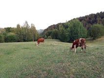 蓝色母牛威胁黑暗的横向牧场地农村天空夏天下 库存图片
